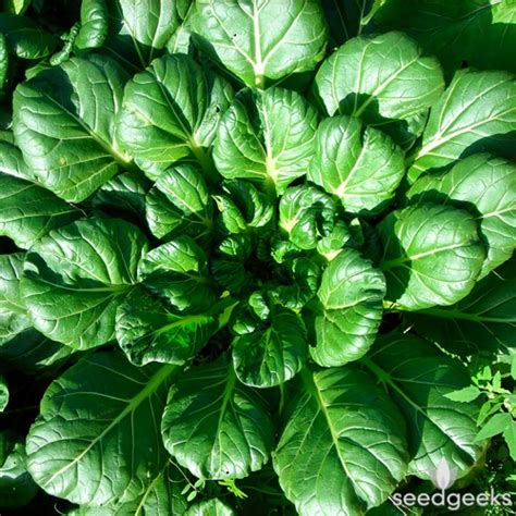 tatsoi mustard greens seedgeeks heirloom seeds