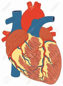 Heart Anatomy Clipart At Getdrawings