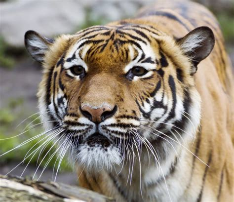big, Cats, Tigers, Snout, Animals, Wallpapers Wallpapers HD / Desktop and Mobile Backgrounds