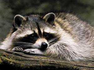 Raccoon - Animals Photo (30710854) - Fanpop