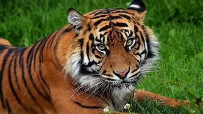 Tiger Cat Predator Flowers Grass