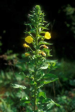 gemeine nachtkerzen oenothera alle