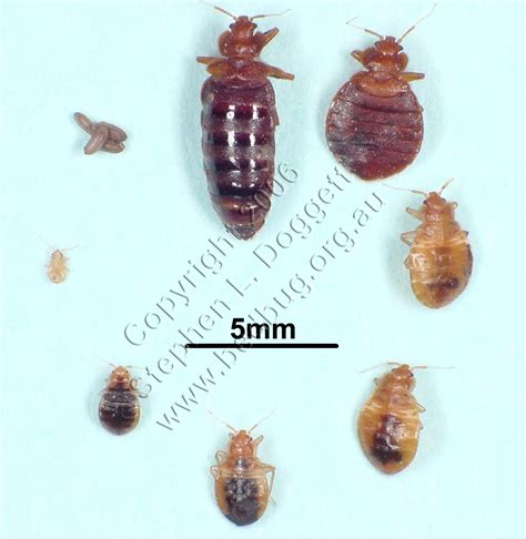do bed bugs come out when the lights are on клопы фото фото клопов