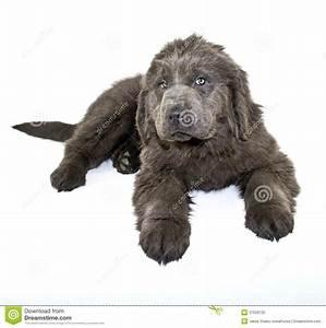 newfoundland puppy prices