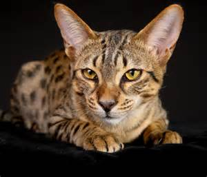 mau cat 10 oldest cat breeds in existence the woofs from