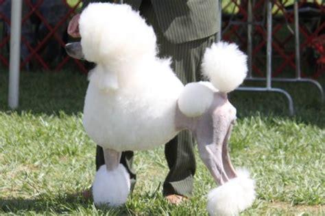 poodle breed information poodle images poodle dog breed info