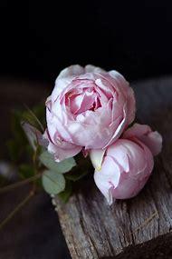 Brother Cadfael English Rose