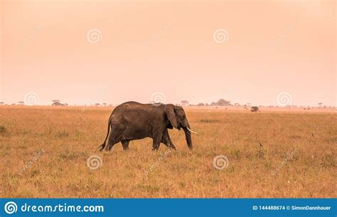 Lonely African Elephant In The Savannah Of Serengeti At