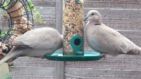 ring necked doves feeding youtube