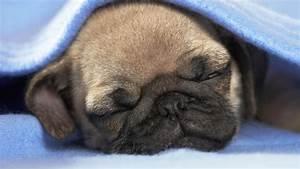 Wallpaper puppy, dog, sleep, blanket desktop wallpaper ...