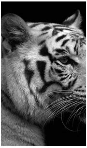 White Tiger Wallpapers Free Download   PixelsTalk.Net