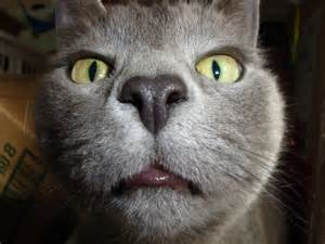 silly cat cats part 9 52 pics amazing creatures