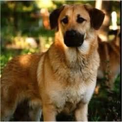 New Hampshire State Dog Chinook