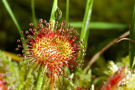 sonnentau pflanze pflege sonnentau pflegen 187 so f 252 hlt sich ihre drosera rundum wohl