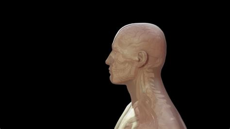 Animation Showing The Human Skeletal System Stock Footage