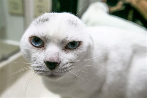 cat seal ears earless looks baby cuddly eyed caters identical finds friend they lost toy pic otitis