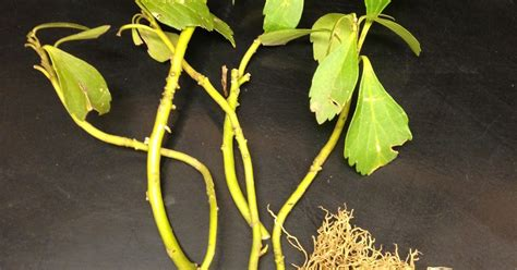 university  illinois plant clinic pachysandra planted