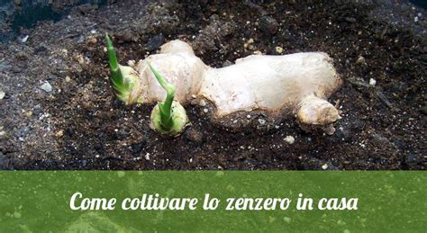 Coltivazione Zenzero Vaso - ecco come coltivare lo zenzero in casa o in un vaso sul