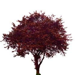purple leaf plum tree opengameartorg