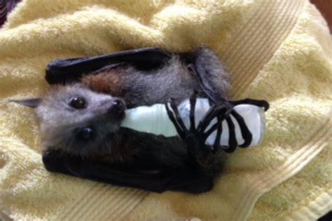 urgent funding plight   orphaned baby bats indiegogo