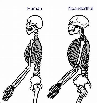 Neanderthal Human Chimp Rib Cage Neanderthals Compared