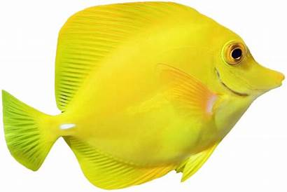Fish Yellow Swimming Right Bright Aquarian Guide