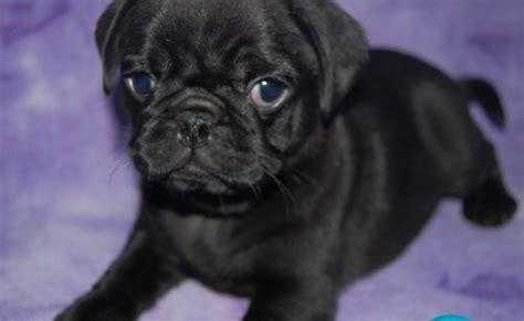 pug puppies  adoption pets rehoming dubai city