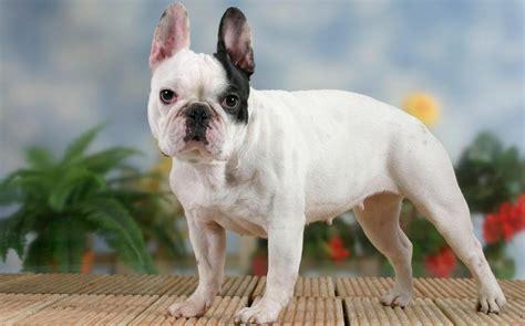 french bulldog popularity   welfare issue
