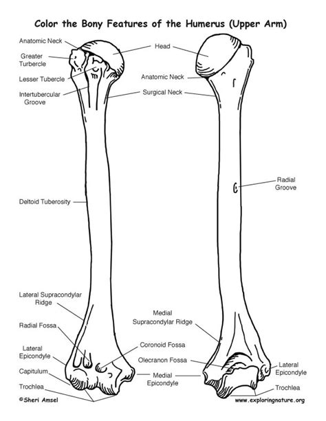 anatomy of a bone coloring humerus bone page coloring pages