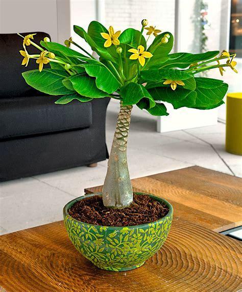 Buy house plants now Hawaiian Palm   Bakker.com