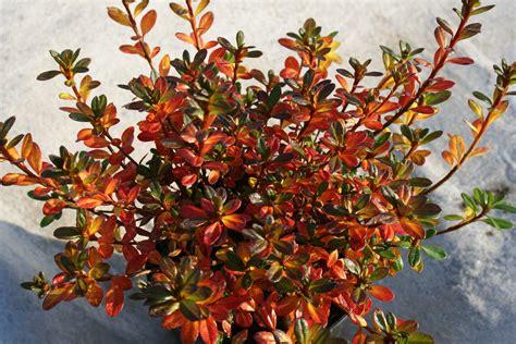 Magnolie Radikal Schneiden by Rhododendron Schneiden Zeitpunkt Rhododendron Schneiden