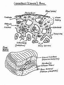 Bone  U0026 Cartilage Illustrations