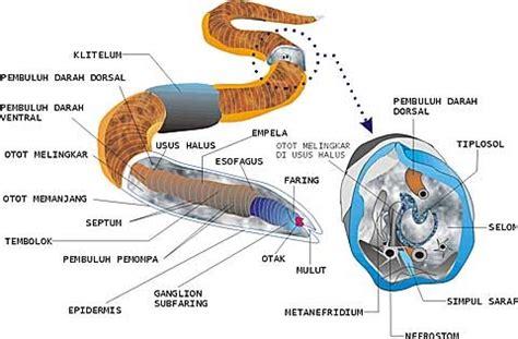 Cacing Dan Cacing Darah sistem peredaran darah cacing roffian halim s