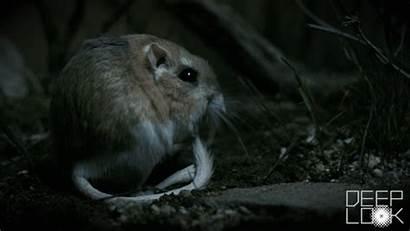 Kangaroo Rat Tail Rats Furry Its Spring