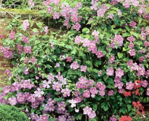 Kletterpflanzen Mit Blüten by Der Saengerhof Kletterpflanzen