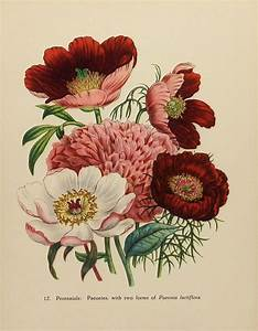 Vintage Flower Print, 1948 Peony Peonies, English ...