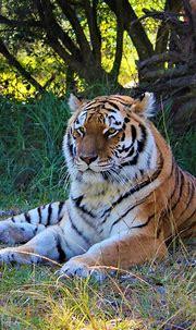 Siberian Tiger | Jukani Wildlife Sanctuary, Plettenberg ...