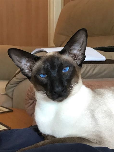 siamese cats scarce become africa why south bred villiers thomas