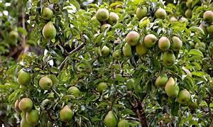 Quand Planter Un Pommier : poirier plantation taille culture et entretien ~ Dallasstarsshop.com Idées de Décoration