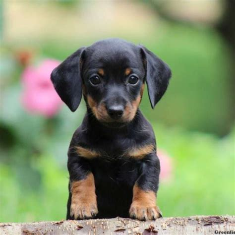Datsun Puppies by Dachshund Puppies For Sale Greenfield Puppies