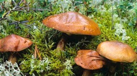 butterpilz der essbare heimische pilz nicht ueberall