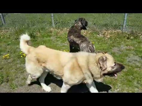 AB armenian gampr english mastiff youtube 480 x 360 · jpeg