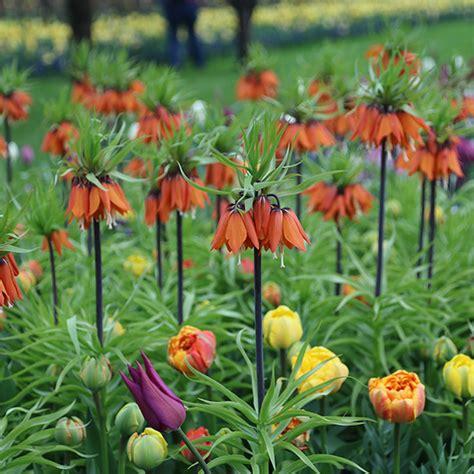 buy crown imperial bulb fritillaria imperialis rubra