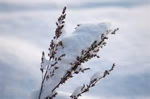 file winter snow covering a plant jpg