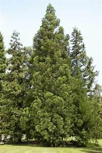 Sichtschutz Bäume Immergrün : japanische sicheltanne pflanzen und pflegen mein sch ner garten ~ Eleganceandgraceweddings.com Haus und Dekorationen