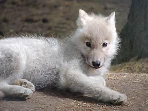 Bébé Loup Blanc : chien loups blanc ~ Farleysfitness.com Idées de Décoration