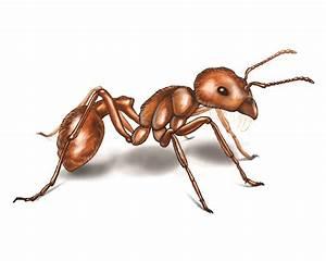 Harvester Ants Control
