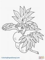 Grapefruit Drawing Coloring Breadfruit Getdrawings sketch template