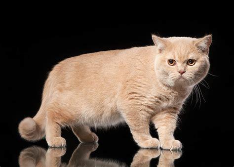 american shorthair cat cat breeds encyclopedia