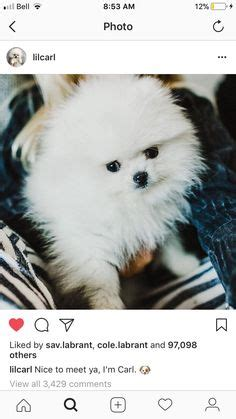 tiny white micro teacup pomeranian puppy carl labrant